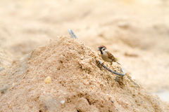 Sparrow. Eating a rice grain on the ground Stock Photography