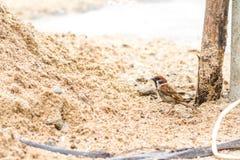 Sparrow. Eating a rice grain on the ground Stock Photos