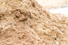 Sparrow. Eating a rice grain on the ground Stock Photo