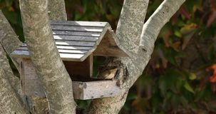 Sparrow eating seeds. A little sparrow is eating seeds in a wooden cabin stock footage