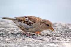 Sparrow eating on a wall Stock Photography