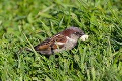 The sparrow eats bread Stock Photos