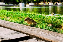 Sparrow eats the crumbs in the park Royalty Free Stock Photo