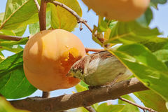 Sparrow Eats Persimmon Royalty Free Stock Image