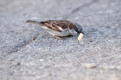 Sparrow. Eats sunflower seeds on park Royalty Free Stock Photos