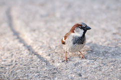 Sparrow. Eats sunflower seeds on park Stock Photography
