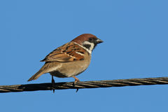 Sparrow on electric wires. In early spring Stock Photography