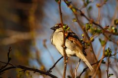 Sparrow enjoying the early spring sun royalty free stock image