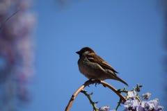 The sparrow enjoys the spring sun. On the branch Stock Photography