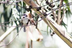 Sparrow on eucalyptus branch stock images