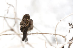 Sparrow - RAW format Stock Photos