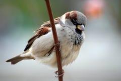 sparrow för akadomesticusförbipasserande Royaltyfri Fotografi