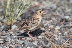 sparrow för ammodramusgräshoppasavannarum Royaltyfria Foton