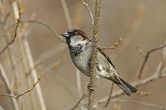 sparrow för domesticushusförbipasserande Royaltyfri Foto