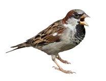 sparrow för domesticushusförbipasserande arkivfoton