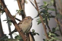 sparrow för domesticushusförbipasserande Royaltyfria Bilder