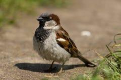 sparrow för domesticushusförbipasserande royaltyfria foton