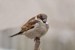 sparrow för förbipasserande för akabakgrundsdomesticus grå Royaltyfri Fotografi