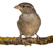 sparrow för förbipasserande för domesticuskvinnlighus arkivbilder
