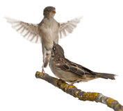 sparrow för förbipasserande för kvinnlighus male arkivbilder
