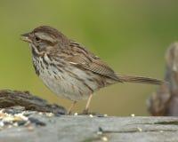 sparrow för melodimelospizasong fotografering för bildbyråer