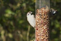 Sparrow (förbipasserandemontanus) Arkivfoto