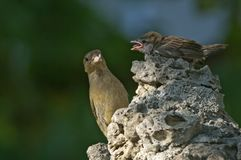 Sparrow family Royalty Free Stock Photography
