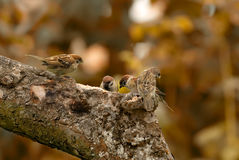 Sparrow family Royalty Free Stock Image