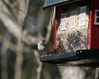 Sparrow Feeder Stock Images