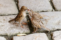 Sparrow Feeding Fledgelings Stock Photography
