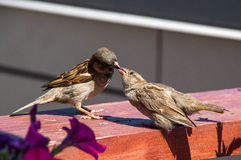Sparrow feeding her chick. Summer in the city stock photography