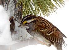 Sparrow Feeding after Snow Storm Royalty Free Stock Photos