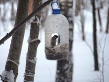 The Sparrow feeds in a feeding trough made of a plastic transparent bottle. Winter. Photo birds stock photography