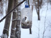 The Sparrow feeds in a feeding trough made of a plastic transparent bottle. Winter. Photo birds stock image