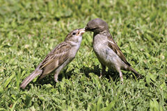 Sparrow feeds other. A Sparrow feeds other sparrow Royalty Free Stock Photography