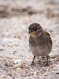 Sparrow female bird on beach close-up Royalty Free Stock Photos