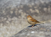 Sparrow female lands on the stone. Looking Royalty Free Stock Photo