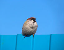 Sparrow on a fence. Male sparrow on blue fence Royalty Free Stock Photography