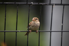 Sparrow on the fence Stock Photography