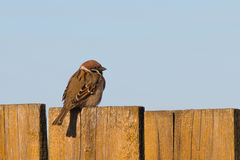 Sparrow on the fence Royalty Free Stock Photo