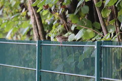 Sparrow On Fence Royalty Free Stock Photo