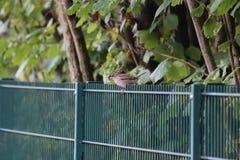 Sparrow On Fence Stock Photos