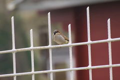 Sparrow On Fence Stock Images