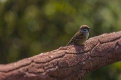 Sparrow on fence Stock Photo