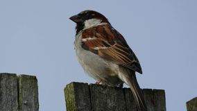 Sparrow on the fence - 4K stock footage
