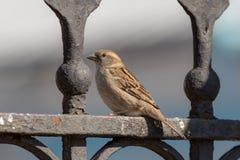 Sparrow on fence Royalty Free Stock Photos