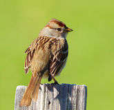 Sparrow on a Fence Post. Little Sparrow on a post with a green background royalty free stock photography