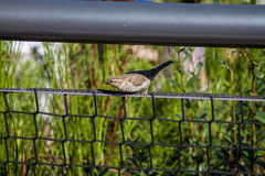 Sparrow on the fence Stock Photos