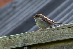 Sparrow on Fence Stock Photography