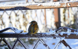 Sparrow on the fence Royalty Free Stock Image